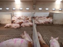 Comienzan los ensayos de dietas porcinas con fitasas